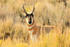 waterbuck(0.0), white-tailed deer(0.0), gazelle(0.0), animal(1.0), prairie(1.0), antelope(1.0), springbok(1.0), mammal(1.0), fauna(1.0), pronghorn(1.0), savanna(1.0), grassland(1.0), safari(1.0), wildlife(1.0),