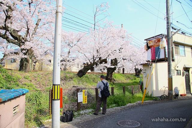 嵐電 桜のトンネル