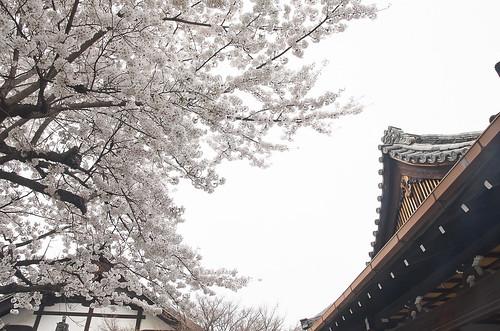 【写真】2014 桜 : 知恩寺/2020-11-13/IMGP5727