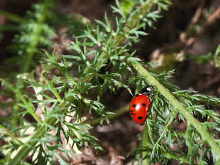 Ladybug_Bean-Shaped_on_Yarrow_2378a