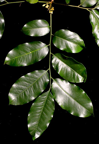 Dysoxylum latifolium DSC_0552 (14)