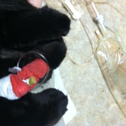 Gussie paws! Still in hospital... But is feeling better and he has no kidney damage!