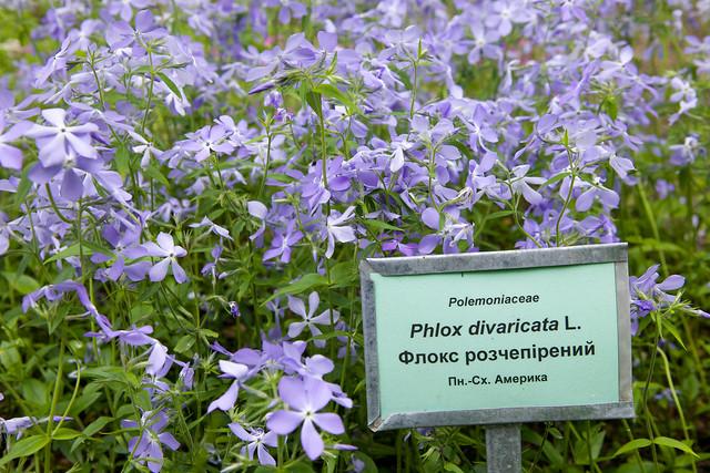 phlox. Botanical garden. Lviv, Ukraine