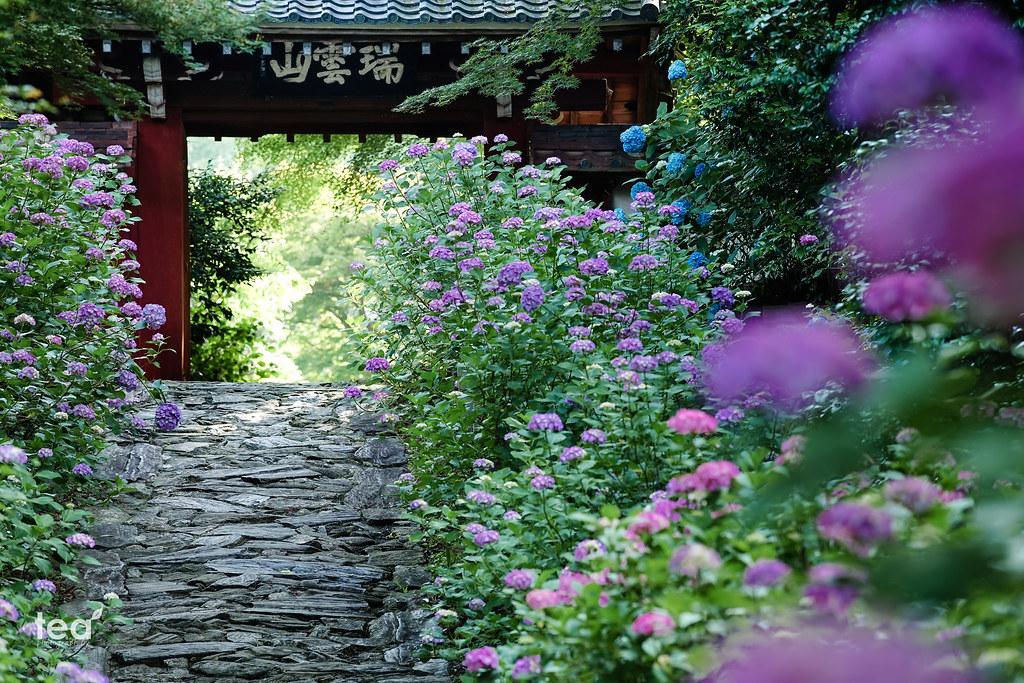 幸田町のあじさい寺「本光寺」 | Sony a7 + AF-S NIKKOR 70-200mm f/4G ED VR