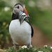 PUFFIN / SKOMER ISLAND / WALES / UK. by Tom Webzell
