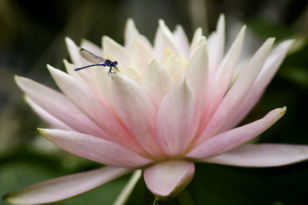 Water Lily and a Blue Damselfly