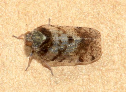 Tachycixius pilosus 6255