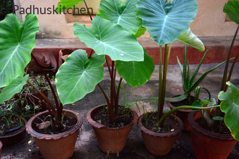 taro root plant