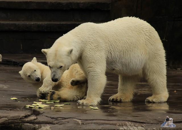 Eisbär Fiete im Zoo Rostock 11.07.2015  0182