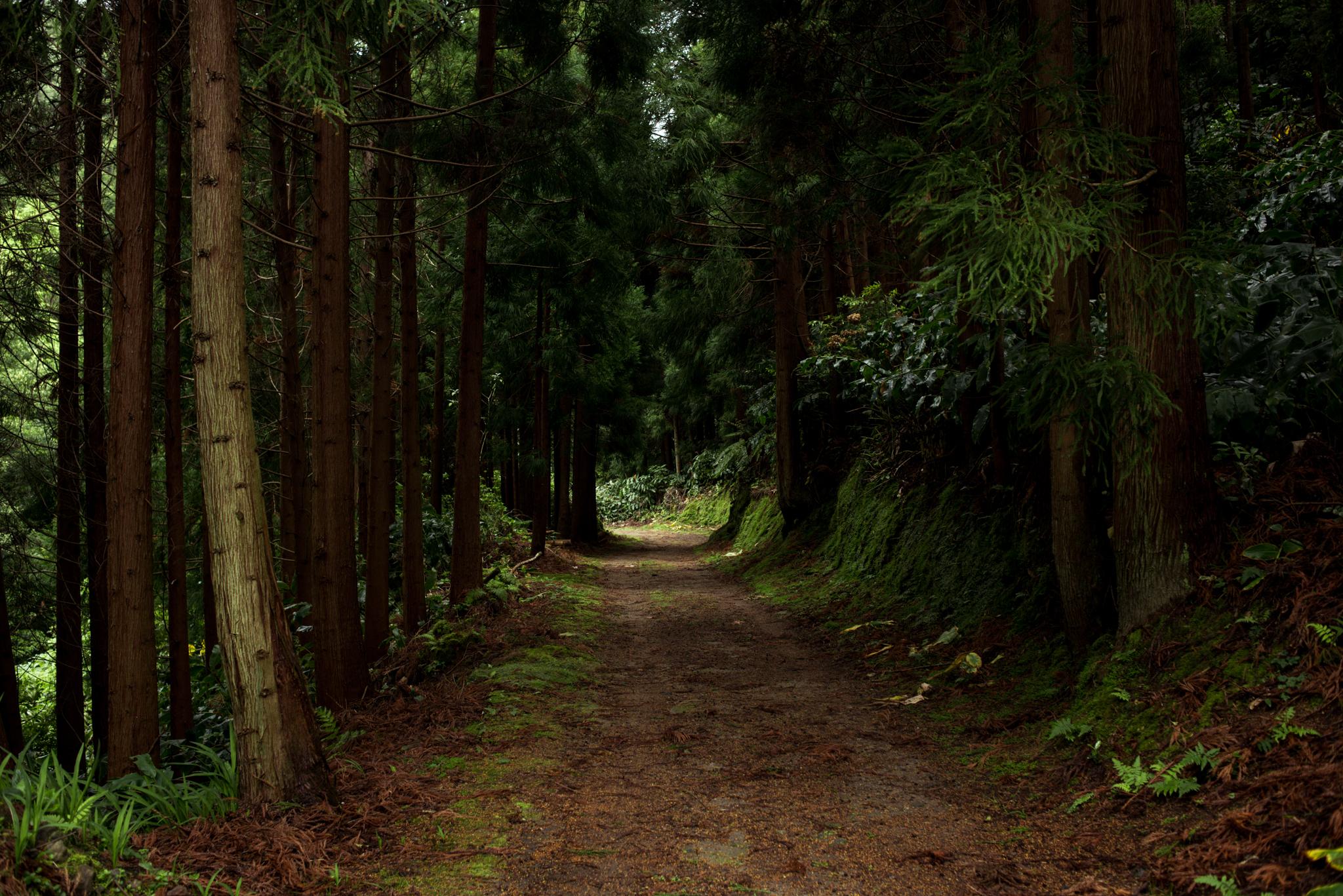 Azori-szigetiki fenyőerdő