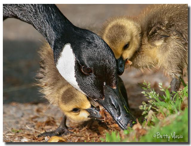 Canadian Goose & Baby goslings