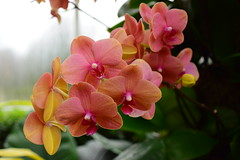 Surf Song Moth Orchid Phalaenopsis