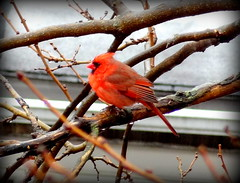 Bird at Rainy Day. Northern Cardinal (Male)