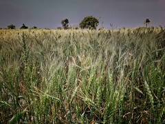 Wheat 's Field #umerkot