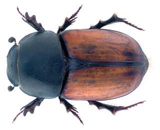 Colobopterus brignolii Carpaneto, 1973