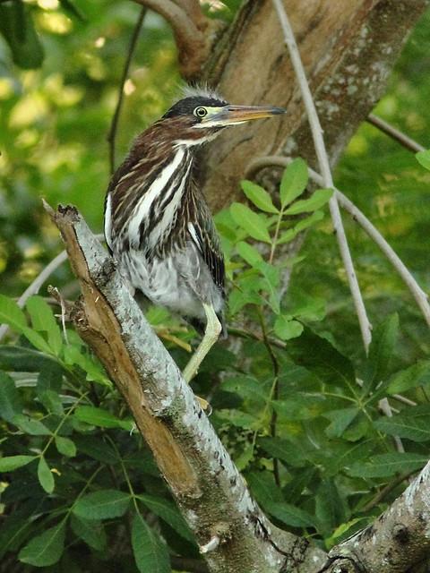 Juvenile Green Heron 2-20130524