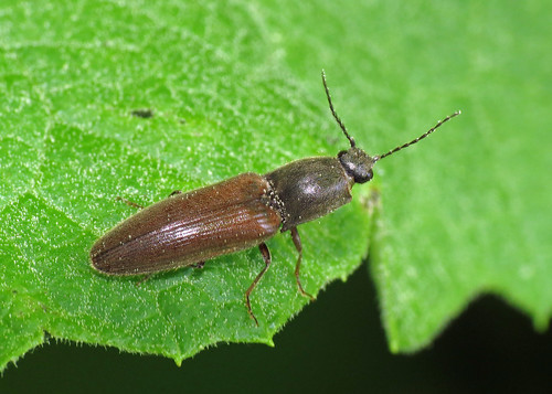 Click Beetle sp.