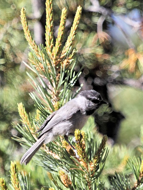 Mountain Chickadee 20130619