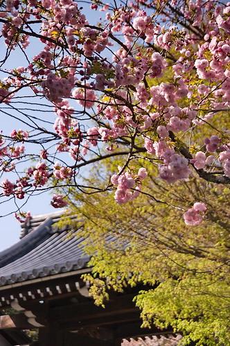 【写真】2013 桜 : 龍安寺/2020-01-22/IMGP9829