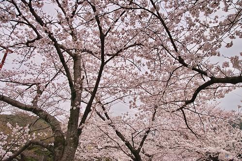 【写真】2013 桜 : 哲学の道/2018-12-24/IMGP9250
