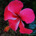 Hibiscus by allegra_