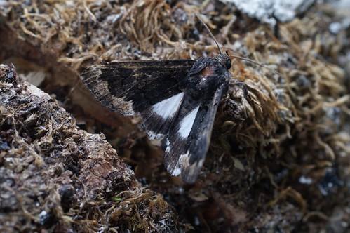 Alchymist (Catephia alchymista)