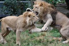 Schaukampf der Löwenbrüder Bandele&Batou