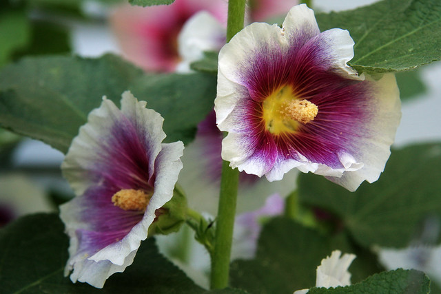 Hollyhocks IV