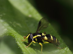 Xanthogramma pedissequum (Syrphidae) ? -  Späte Gelbrand-Schwebfliege