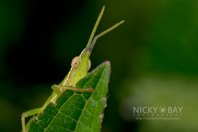 Cone-Headed Katydid (Tettigoniidae) - DSC_2907
