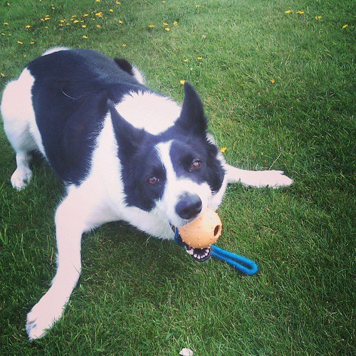 Her favorite toy :-P #collie #PositivelyDog by fuzzydragons