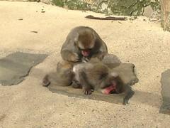 Macaque Monkeys, City park Launceston