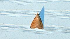 Udea rubigalis - Celery Leaftier moth