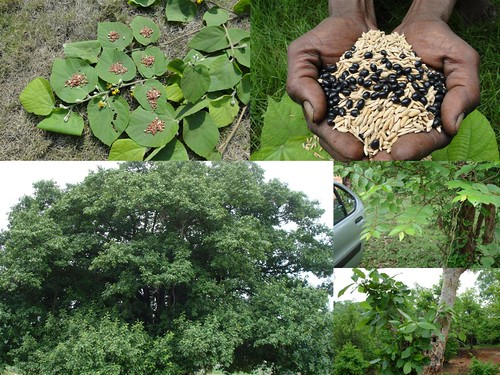 Indigenous Medicinal Rice Formulations for Diabetes and Cancer Complications, Heart and Kidney Diseases (TH Group-105 special) from Pankaj Oudhia's Medicinal Plant Database by Pankaj Oudhia