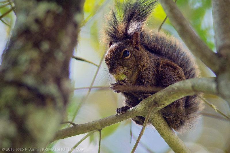 Sciurus ingrami by Techuser