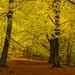 Herbst im Buchenwald by lbbad