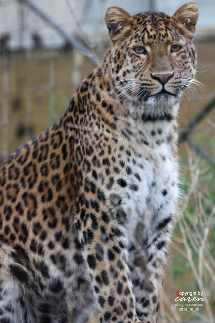 Chinesischer Leopard Julius 2013_10_30 079