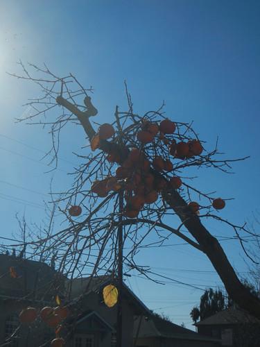 DSCN7362 _ Persimmon Tree