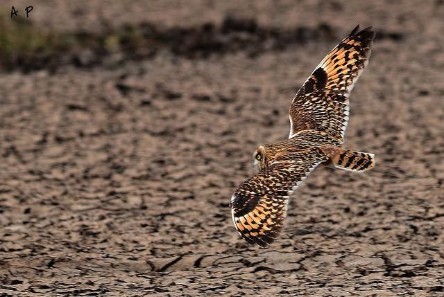 SHORT EARD OWL flight