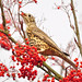 Song Thrush by neateimages