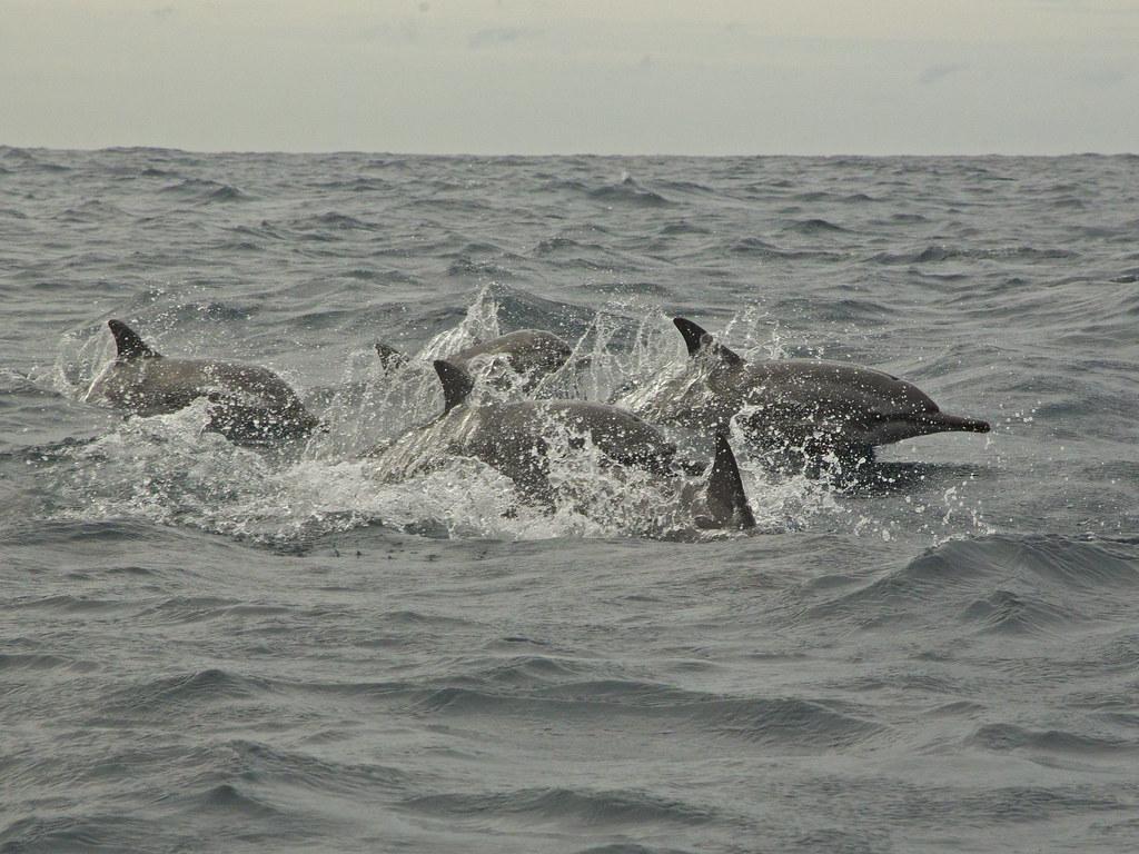 Spinner Dolphin 2013-12-03
