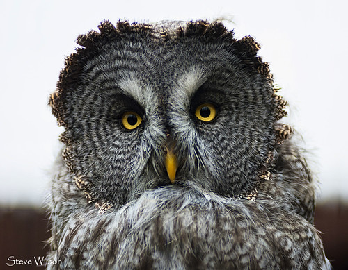 Beautiful Great Grey Owl