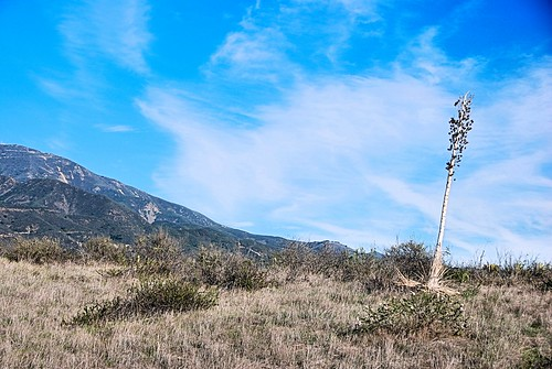 california winter nature landscape photo afternoon view vista yucca spanishdagger ourlordscandle chaparralyucca trabucocanyon oneillregionalpark