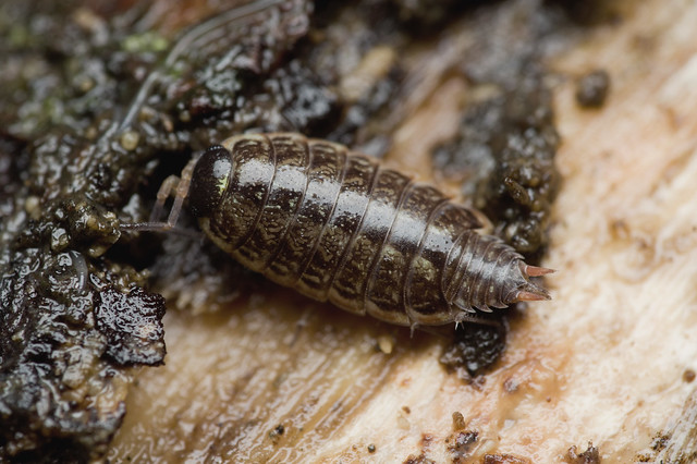 54: Common Striped Woodlouse