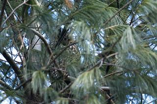 NY: Long-eared Owl