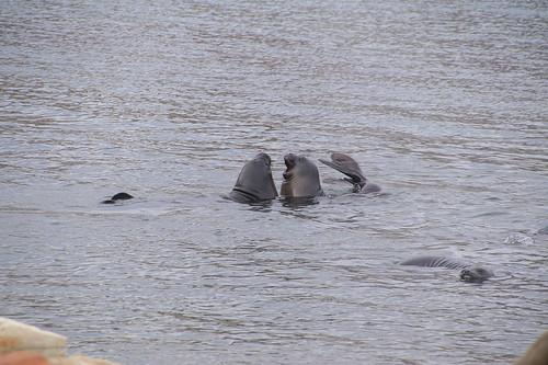 437 Zeeolifanten