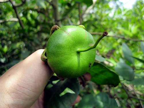 lapea mangroveapple taxonomy:family=lythraceae rogam geo:country=malaysia perapat bogem taxonomy:binomial=sonneratiaovata ampea kedabu lamphaen gedabu