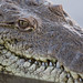 American Crocodile por reptileexperts