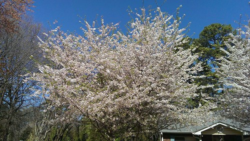 Crabapple Tree in Full Bloom - April 1, 2014