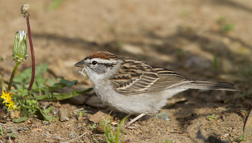 Chipping_Sparrow-9965